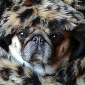 Baiely Puggins The Pug Baby It's Cold Outside