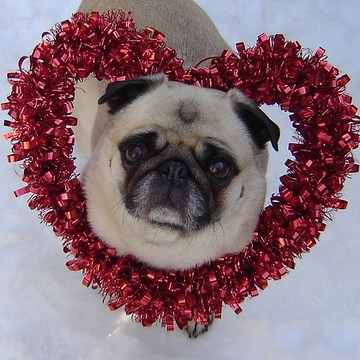 Pug Valentine In The Snow