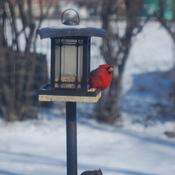 Mama & Papa Cardinal