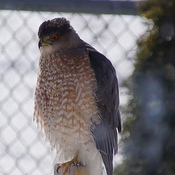 Coopers Hawk on the fence post after an unsuccessful hunt