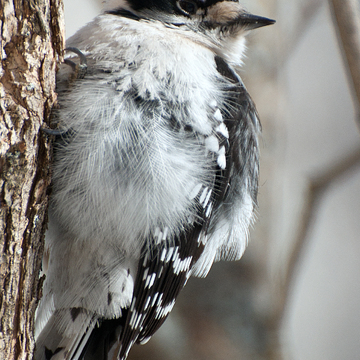 Hairy Woodpecker in -45 So cold he popped his fluff