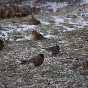Is Spring here ? Robins in front yard