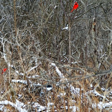 London, Ontario. Northern Cardinal capital of Canada