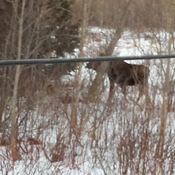 Moose in cape breton highlands