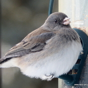 The Junco doesn't mind the weather .....