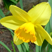 Longing for daffodils_0414