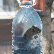 Écureuil roux sortant du contenant