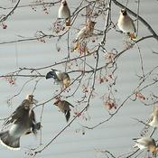 Jaseurs Boréals de ma fenêtre