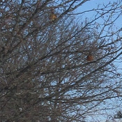 Flock of Robins in Woodstock, ON