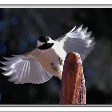 Att., gros oiseau méchant arrive..............