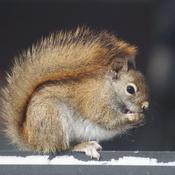 Écureuil se réchauffe avec sa queue