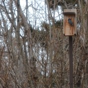 Boreal Chickadees and Nuthatch