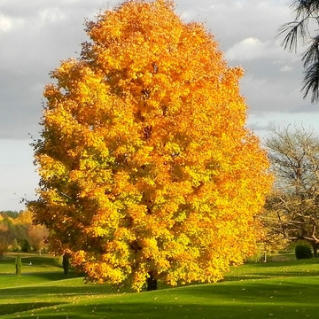 Beautiful Maple