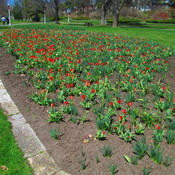 A few tulips in Ottawa