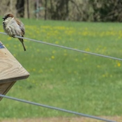 House Sparrows vs Tree Swallows