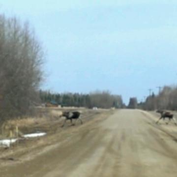 Moose just off highway 63