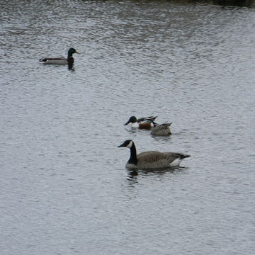 2 DUCKS AND A GOOSE POND