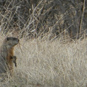 GROUND HOG ON PATROL