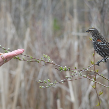 Female Red-winged Blackbird!