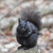 Black Squirrel!