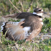 Killdeer and her eggs