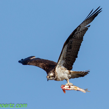 Osprey Supper