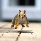 Hover Squirrel..Take Two..