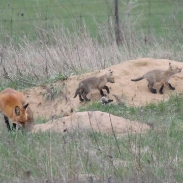 Fox family Den