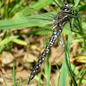 Dragonfly Doing Grass!!!