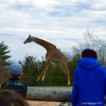 Who say Giraffe don't jump ?