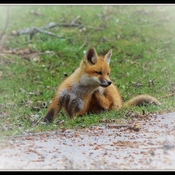 Baby Foxes