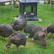The gang of Turkeys here in Brandon!