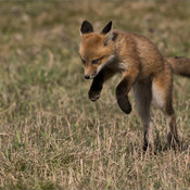 Red Fox Kit in Flight