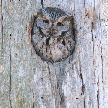 Mud Lake Screech Owl