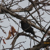 What is this bird? It is not a Female Redwing blackbird