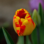 Tulip at my Backyard