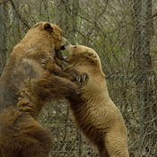 Playful Grizzlies