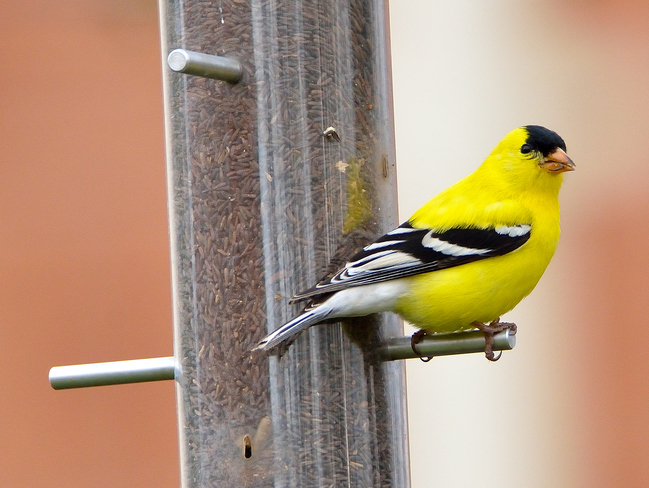 American Goldfinch, Whitby, ON