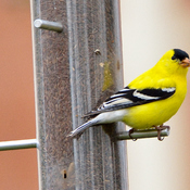 American Goldfinch,