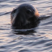 Harbour Seal popping up at Sunrise