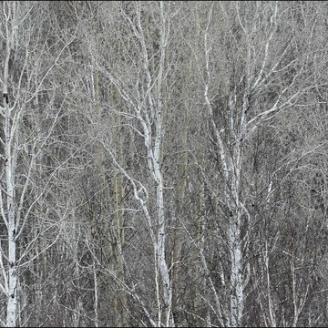 Birches, Elliot Lake.
