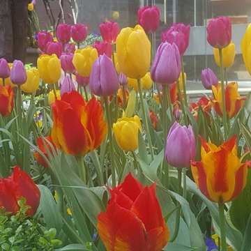True colors of tulips