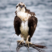 Ospreys are Nesting
