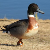 Northern Pintail/Mallard Hybrid