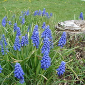 Muscari n full bloom