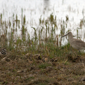 Western Willets...and a sneaky Killdeer