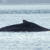 Humpbacks in the moring