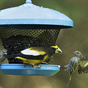 Evening Grosbeak and Pine Siskins