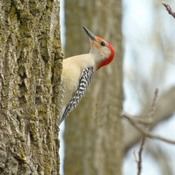 Red Bellied woodpecker climbing tree
