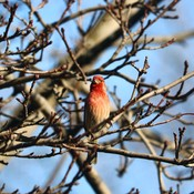 Pine Grosbeak?